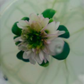 Foto de un crisantemo