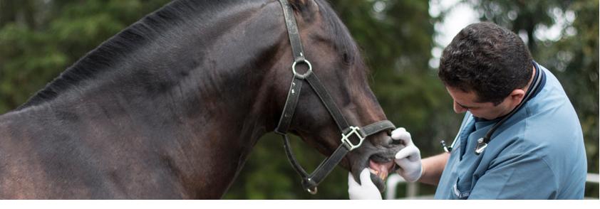 Foto médico veterinario auscultando un caballo