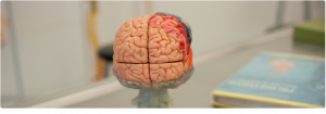 Photo of didactic brain symbolizing the new master's degree in clinical neuropsychology