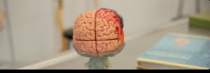 Foto de cerebro didáctico simbolzando la nueva maestría en neuropsicología clínica