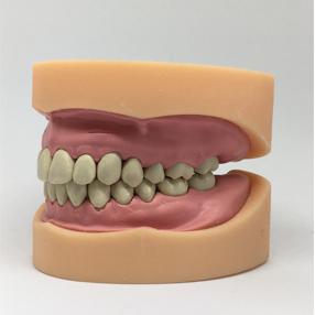 Imagen simulador anatómico de dentadura para uso odontológico