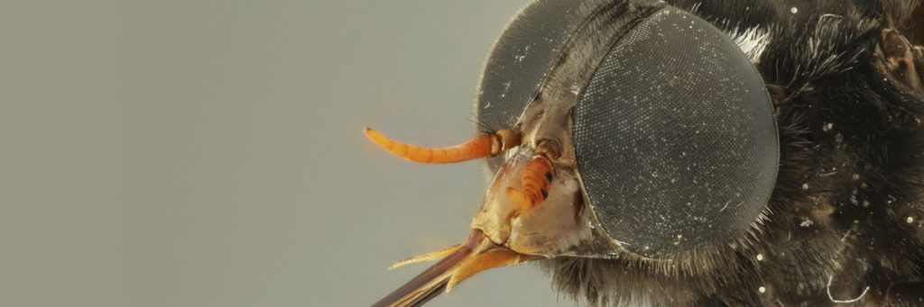 Photo of fly in macro shot showing the details of its eyes and antennae