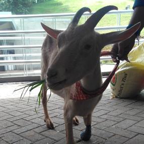 La cabra Lulú comiendo pasto