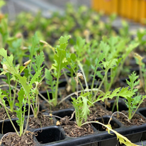 Plants sown in the greenhouse