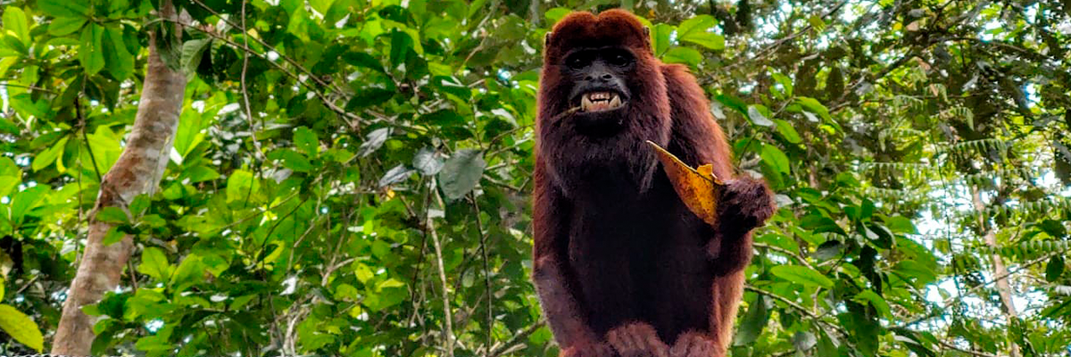 Catorce monos aulladores volvieron a la libertad en el Magdalena Medio antioqueño