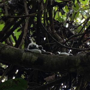 image of titi monkeys in a tree