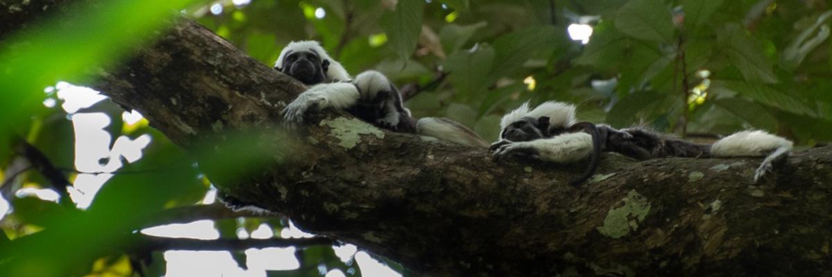 imagen de monos tití rescatados, en un árbol