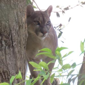 Puma Photography