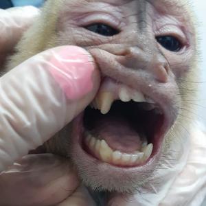 Photography: White-faced monkey