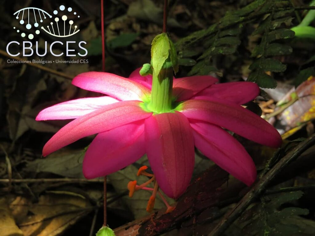 flor de CBUCES